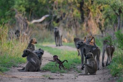 Bushveld Mobsters | Taga Safaris