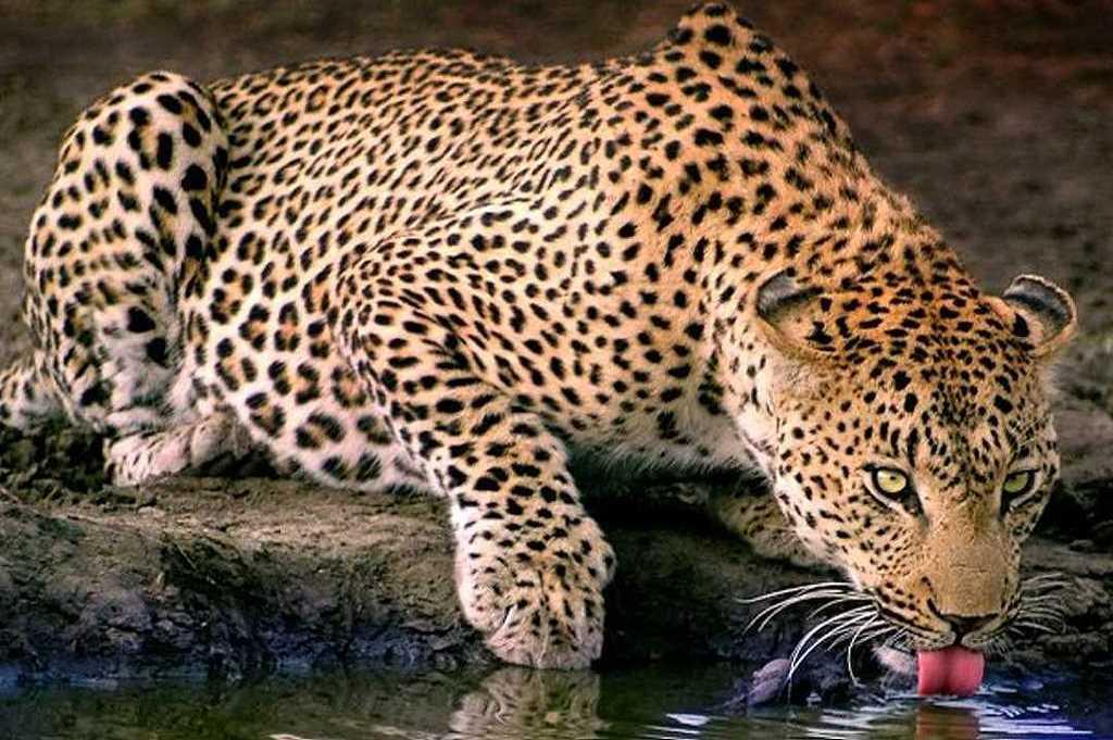 Ultimate Leopard Safari