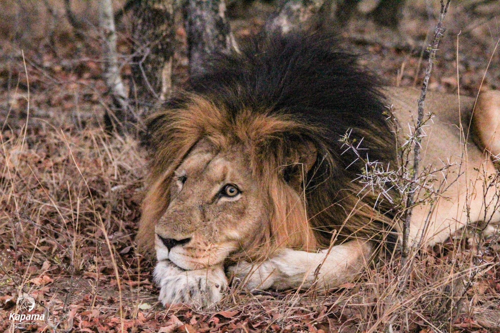 Kapama's One-Eyed King | Taga Safaris