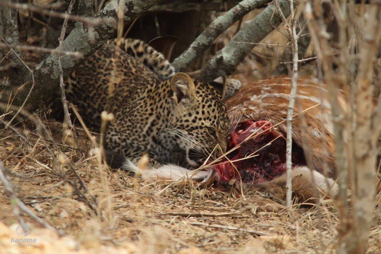 Leopard Cubs Spotted | Taga Safaris - An African Safari with the Pioneers