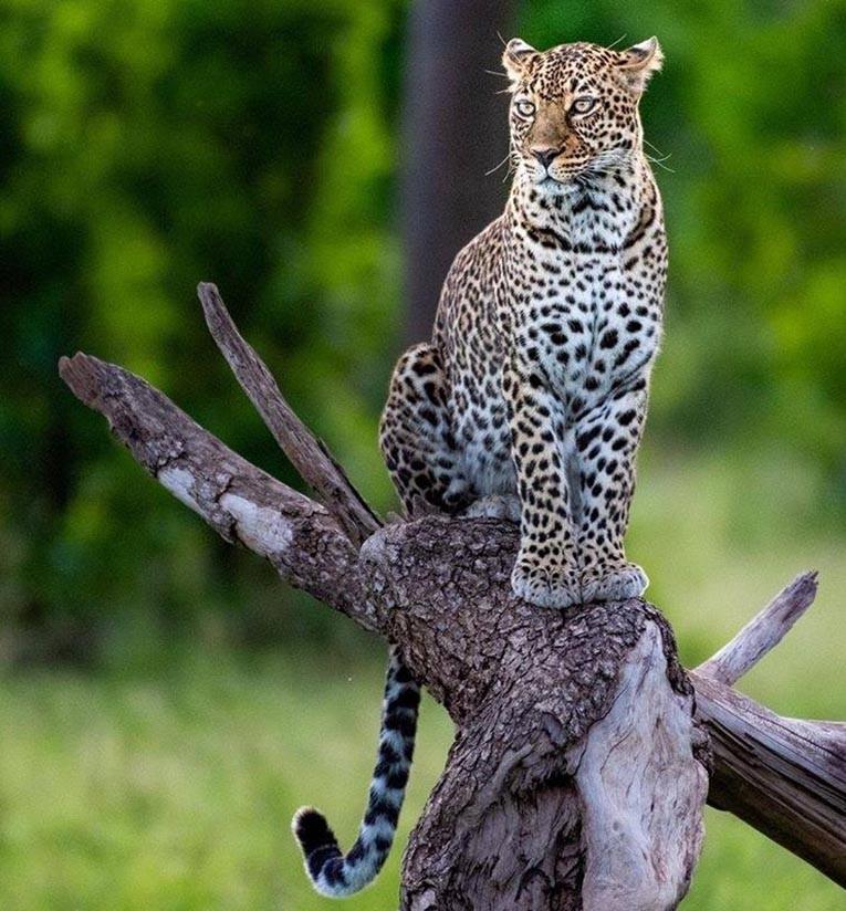 Masai Mara Game report: January 2019 | Taga Safaris