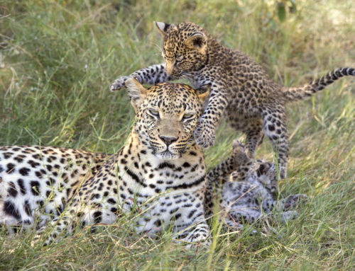 Ten Simply Amazing Leopard Cub Pictures