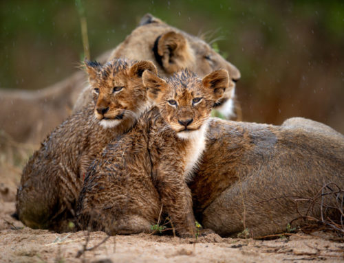 Singita and Wilderness Safaris join the Lionscape Coalition