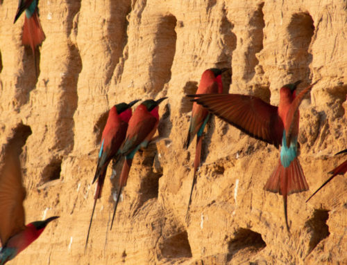 Wonderful Wildlife: Southern carmine bee-eaters
