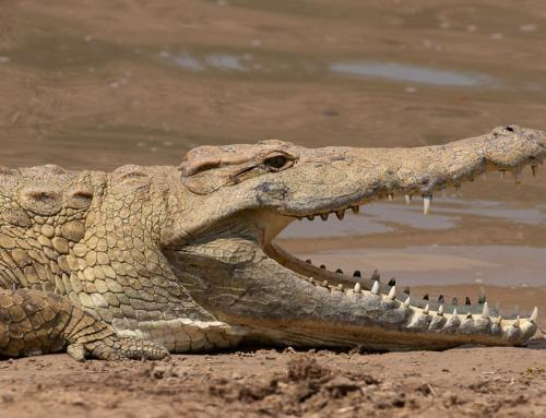 Wonderful Wildlife: Creepy Crocodiles