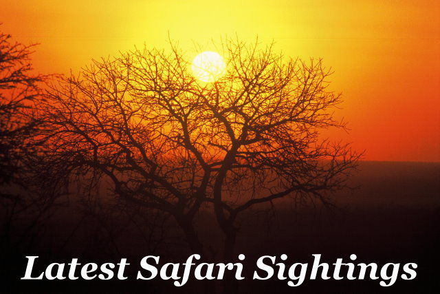 Latest Safari Sightings Taga Safaris