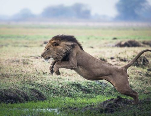 The Flying Lions of Busanga Plains