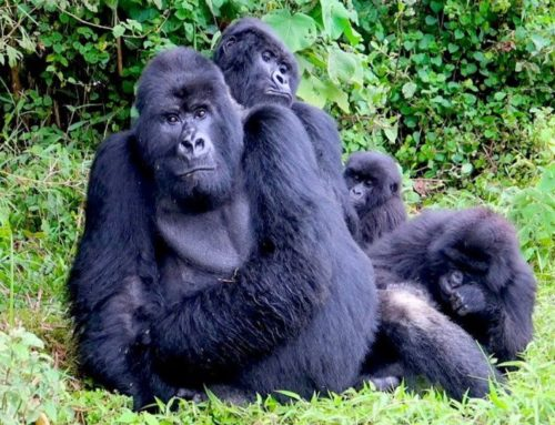 The world's best destinations for gorilla trekking