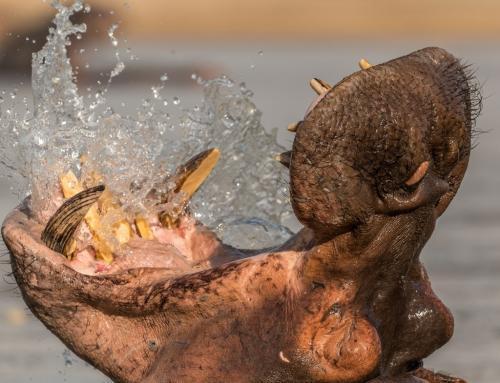 Humongous Hippos